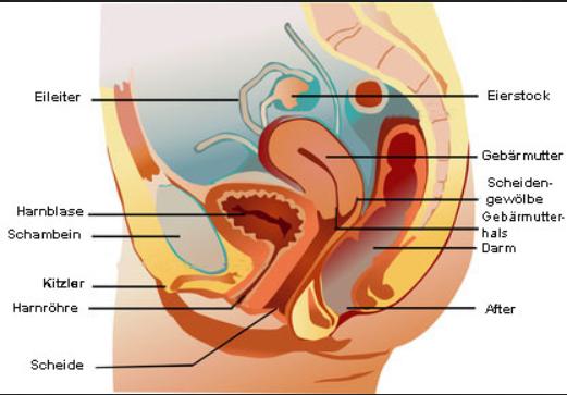 Anatomie Frau Geschlechtsorgane - (Frauen, Wasser, Scheide)