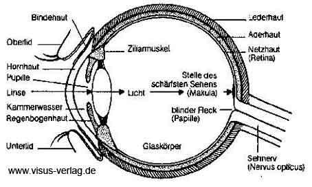 Augenaufbau - (Medizin, Augenarzt, Linsentrübung)