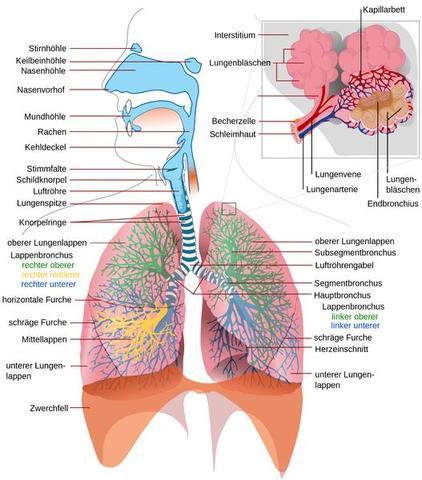 Atmungssystem - (Lunge, Atmung, Mücken)