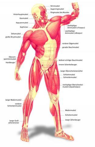 Muskulatur - (Operation, Orthopädie, Sehnenriss)