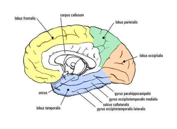 Gehirn2 - (Kopfschmerzen, Kreislauf, Diagnose)