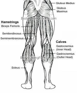 Ischiocrurale Muskulatur bzw. Hamstring - (Schmerzen, Gesundheit, Körper)