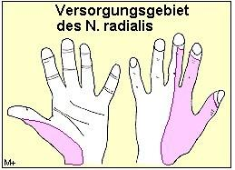 radialis  - (Schmerzen, Arzt, Gesundheit)