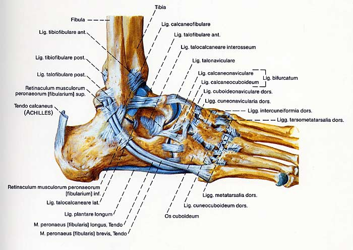 Fuß Bänder