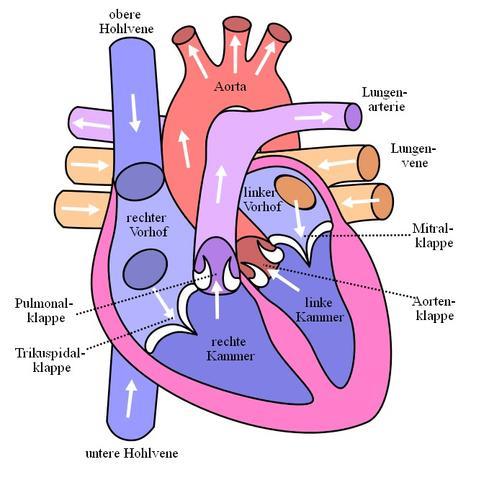 Herzschema  - (Herz, Medizin, Befund)