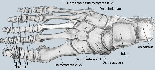 Fuss 456 - (Füße, Knochen, Laufen)