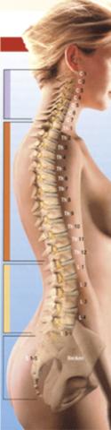 Rücken - (Rücken, Wirbelsäule)