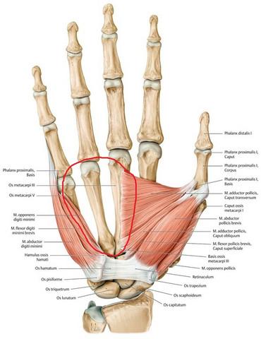 Sind die Fingerknochen auch mit Muskeln überzogen?